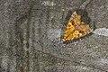 Cosmophila lyona (42375154961).jpg