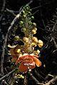 Couroupita guianensis - Murshidabad 2014-11-11 8909.JPG