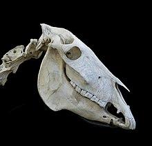 Crâne d'un âne