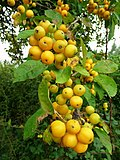 Crab apples by the roadside - geograph.org.uk - 978786.jpg