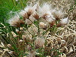 Creeping Thistle-Cirsium arvense.JPG