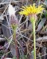 Crepis foetida inflorescence (10).jpg