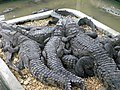 Criadero de caimanes - panoramio.jpg