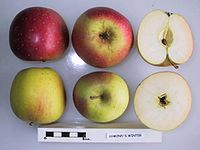 Cross section of Symond's Winter, National Fruit Collection (acc. 1953-142).jpg