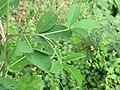 Crotalaria pallida Smooth Rattlebox at Mayyil (8).jpg