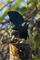Cuban Blackbird - Cuba S4E9710 (23593631600).jpg