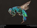 Cuckoo Wasp from Mexico (Chrysididae) (37279820240).jpg