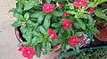 Cultivero rojo de Madagascar Bígaro.jpg