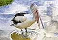 Currumbin Pelican standing in the sun-1- (8621382766).jpg