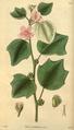 Curtis's Botanical Magazine, Plate 3043 (Volume 58, 1831).png