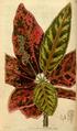 Curtis's Botanical Magazine, Plate 3051 (Volume 58, 1831).png