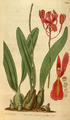 Curtis's Botanical Magazine, Plate 3076 (Volume 58, 1831).png