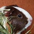 Cute guinea pig domesticated.jpg