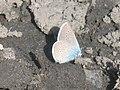 Cyaniris semiargus ♂ - Mazarine blue (male) - Голубянка лесная (самец) (40991307672).jpg