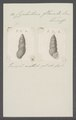 Cyclostoma flavula - - Print - Iconographia Zoologica - Special Collections University of Amsterdam - UBAINV0274 082 28 0006.tif