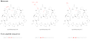 Cyclothiazomycin - The cyclothiazomycin family of antibiotics includes cyclothiazomycins A, B, and C. The structural differences between the analogues are shown in red. Also depicted are the sequences of the peptides that are chemically modified to become the final molecules.