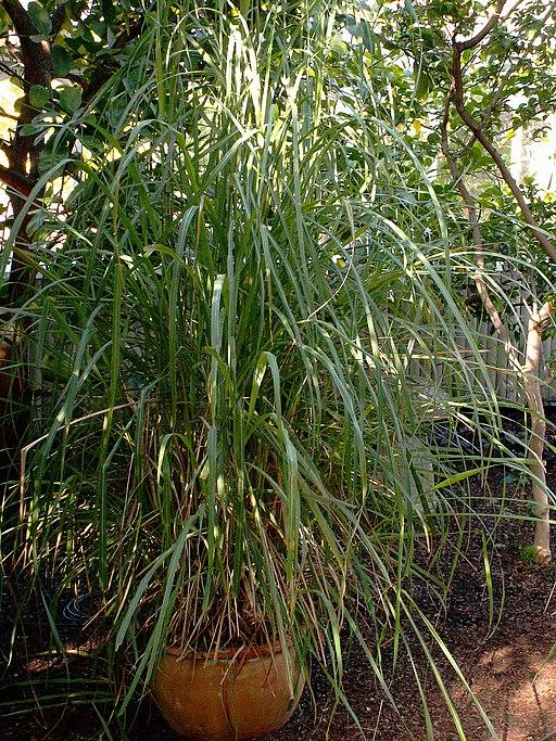 Cymbopogon flexuosus, Phipps Conservatory, 2015-10-10, 01
