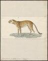 Cynailurus guttatus - 1700-1880 - Print - Iconographia Zoologica - Special Collections University of Amsterdam - UBA01 IZ22100151.tif