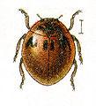 Cynegetis.impunctata.jacobs25.jpg