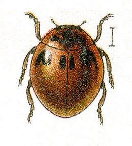 Illustrasjon  (G. G. Jakobson. Beetles of Russia 1905 - 1915)