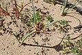 Cyperus capitatus kz02.jpg