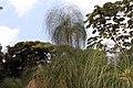 Cyperus papyrus 28zz.jpg