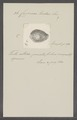 Cypraea turdus - - Print - Iconographia Zoologica - Special Collections University of Amsterdam - UBAINV0274 088 02 0054.tif
