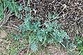 Cysticapnos pruinosa (Fumariaceae) (6932202549).jpg