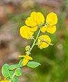 Cytisophyllum sessilifolium in Lozere (8).jpg