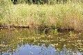 Dīķis bez nosaukuma, Džūkstes pagasts, Tukuma novads, Latvia - panoramio.jpg