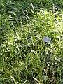 Dactylis glomerata - Botanical Garden, University of Frankfurt - DSC02420.jpg