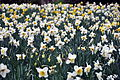 Daffodil Field (7057957853).jpg