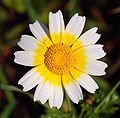 Daisy January 2008-1.jpg