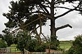 Damaged Tree, Brighstone - geograph.org.uk - 495597.jpg