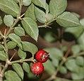 Damnacanthus indicus (fruits s5).jpg