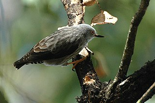 Sittella Daphoenositta, a bird genus