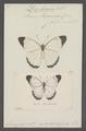 Daptonoura - Print - Iconographia Zoologica - Special Collections University of Amsterdam - UBAINV0274 051 10 0002.tif