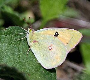 Pieridae - Clouded yellow, Colias croceus