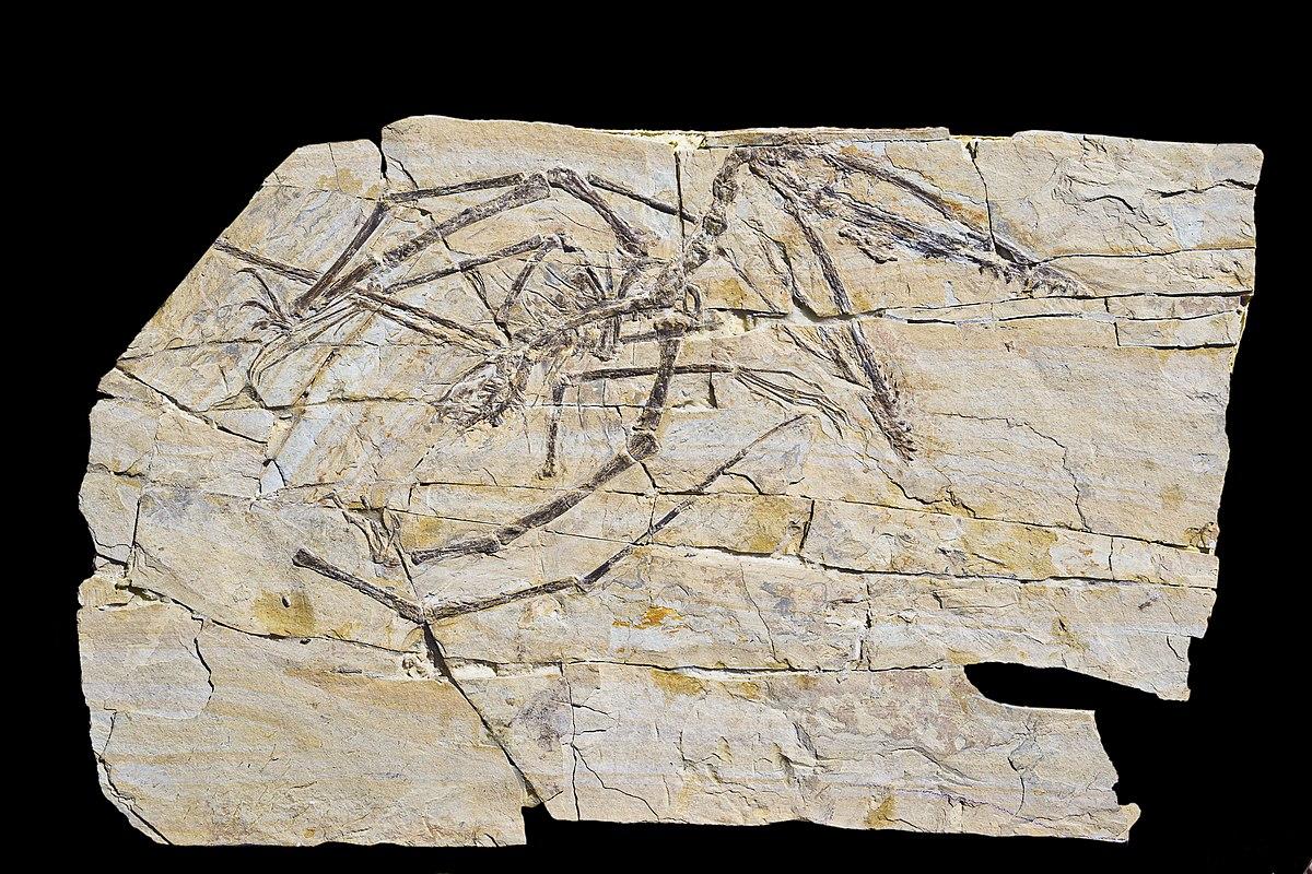 Wikipedia: Darwinopterus