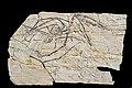 Darwinopterus. Foto: Didier Descouens / Wikipedia