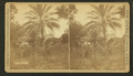 Date palm, from Robert N. Dennis collection of stereoscopic views.png