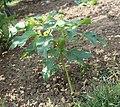Datura stramonium spontanée dans un jardin normand.jpg