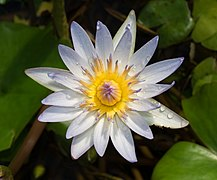 Daubeny's water lily at BBG (50824).jpg