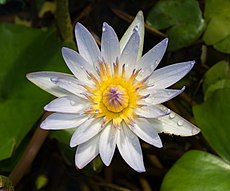 Daubeny's water lily at BBG (50824).jpg