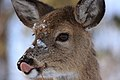 Deer eats snow (6565982483).jpg