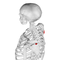 Deltoid tubercle of spine of scapula05.png