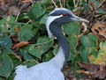 Demoiselle Crane (Anthropoides virgo) RWD.jpg