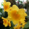 Dendrobium lindleyi - Flickr - treegrow (3).jpg