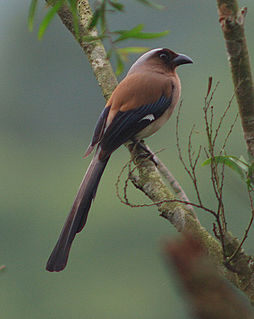 Grey treepie species of bird
