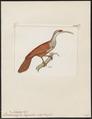 Dendrocolaptes longirostris - 1820-1860 - Print - Iconographia Zoologica - Special Collections University of Amsterdam - UBA01 IZ19200229.tif